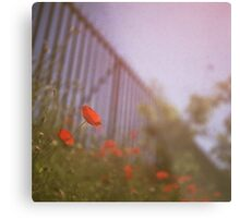 Poppies growing up fence in hot summer faded vintage retro square Hasselblad medium format film analog photo Metal Print