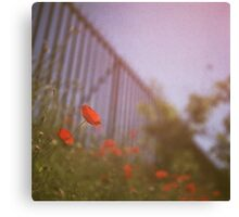 Poppies growing up fence in hot summer faded vintage retro square Hasselblad medium format film analog photo Canvas Print