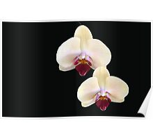 Two of a Kind - orchid flower Poster