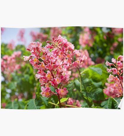Aesculus red blossom cluster Poster