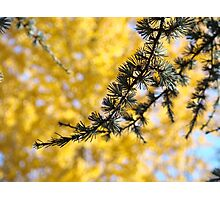 Yellow Fall Tree Leaves Landscape Pine Tree Photographic Print