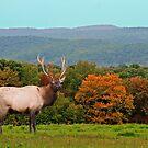 Bull Elk During Rut by Geno Rugh