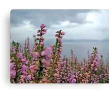 Heather in full bloom Canvas Print