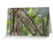 Cuban pygmy owl Greeting Card