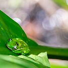 Florida Frog by barkeypf