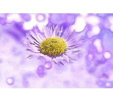 Wild Daisy in Lavender Light Photographic Print