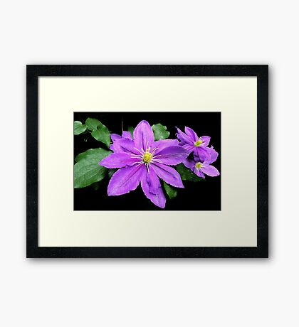 Clematis in the Shadows Framed Print
