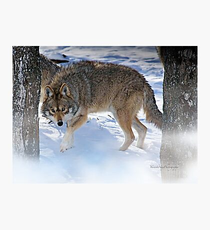 Watchful Coyote Photographic Print