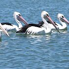 Here We are all lined up ....Pelicans at  Labrador Gold Coast by Virginia McGowan