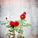 Red roses against wall by Silvia Ganora