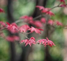 Japanese Maple by yolanda