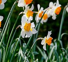 Spring Daffodil Flowers by broomhillphoto