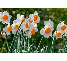 Spring Daffodil Flowers Photographic Print