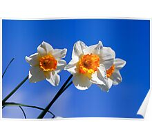Spring Daffodil Flowers with Blue Sky Poster