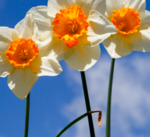 Spring Daffodil Flowers with Blue Sky Sticker