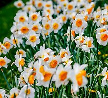 Countless Spring daffodils  by broomhillphoto