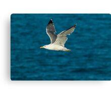 Yellow-legged gull (Larus michahellis) in flight Canvas Print