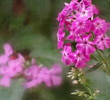 Wild Aug. Phlox by vigor