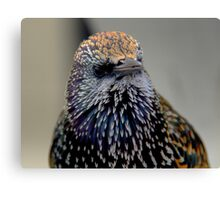 A Staring Starling in Marken Canvas Print