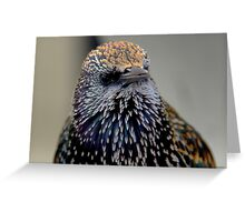 A Staring Starling in Marken Greeting Card