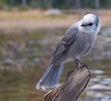 Gray Jay by Eivor Kuchta