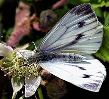 Small White Butterfly by Lynn Bolt