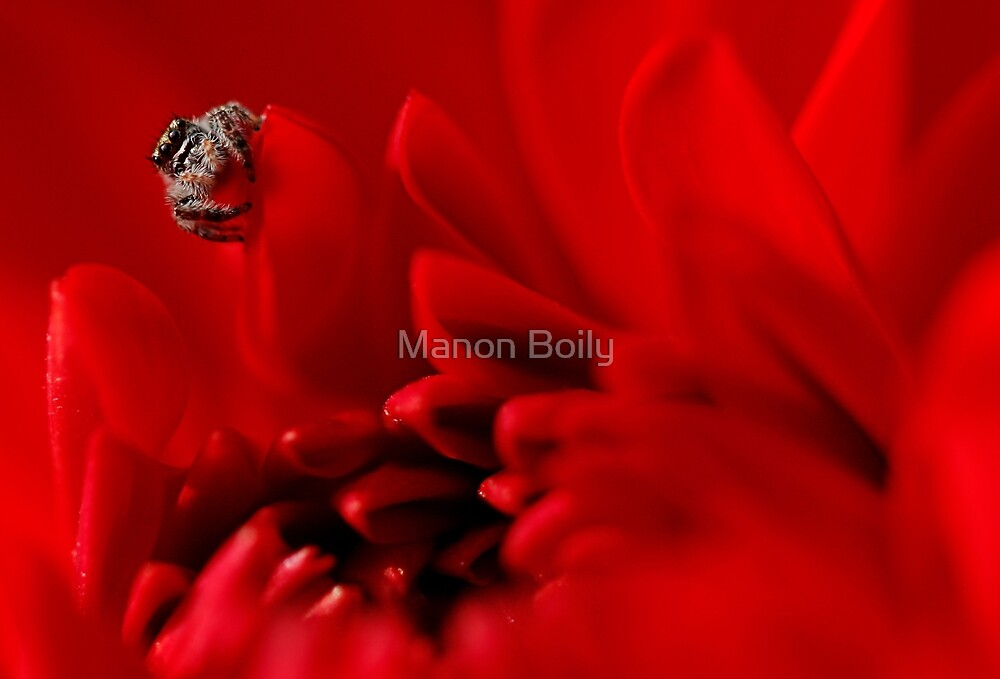 jumping spider and red dalhia by Manon Boily