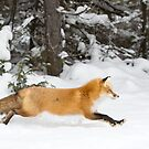Red Fox on the run - Algonquin Park by Jim Cumming