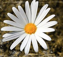 White Daisy by Kerry  Hill