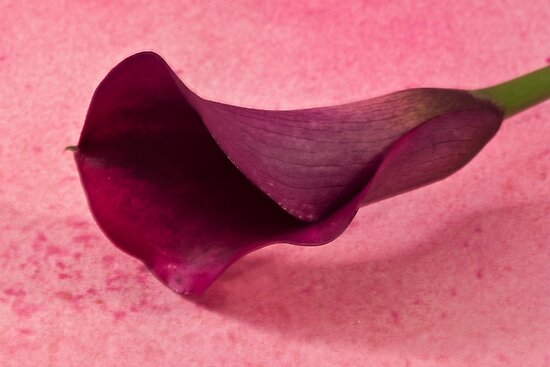 Calla Lily by Sandra Foster
