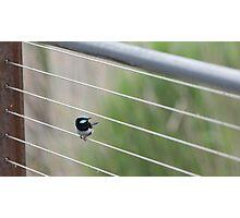 Superb Fairy Wren on wire Photographic Print