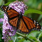 A Visiting Monarch by Trish Meyer