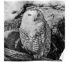 Snowy owl with stunning eyes Poster
