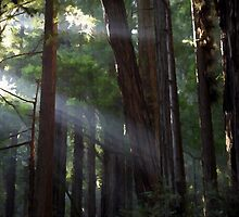 Forest Light - Shafts of Sun Light beam through the trees by verypeculiar