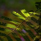 Mimosa with Backlight by Otto Danby II