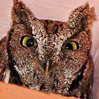 Eastern Screech Owl by Laurie Puglia