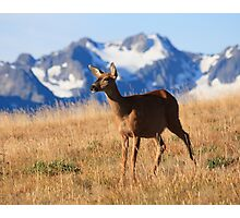 A black-tailed doe stands proud on Hurricane Ridge, Olympic National Park Photographic Print