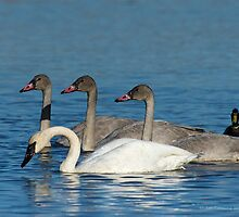 Cygnets watch for feeding clues by Jan Timmons