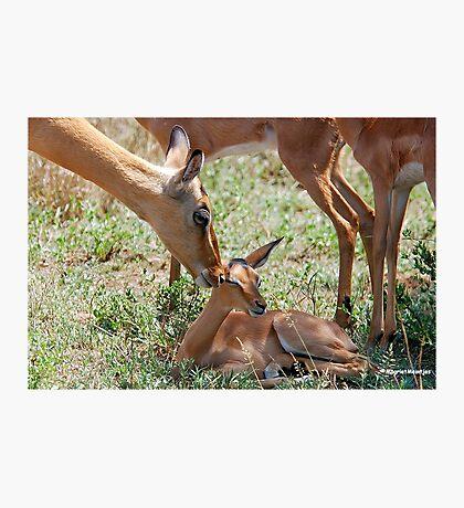 LOVE YOU BABY -  IMPALA  - Aepyceros melampus petersi Photographic Print