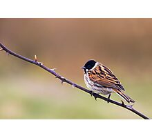 Reed Bunting Photographic Print