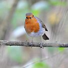 """"""" Season's Red Breast """" by Richard Couchman"""
