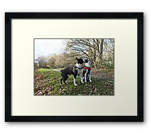 Two Boston Terriers Framed Print
