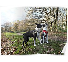 Two Boston Terriers Poster
