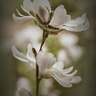 Magnolia #3 by Elaine Teague