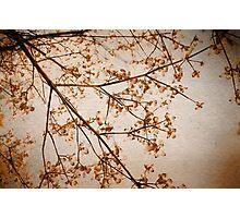 dogwood Photographic Print