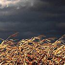 Wind in the Cornstalks by AngieDavies