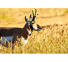 Pronghorn Antelope at Lamar Valley Photographic Print