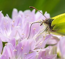 Brimstone butterfly by chris2766