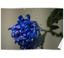 Blue flower with water drops Poster