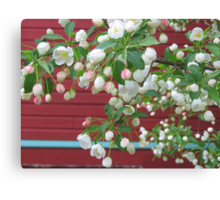 Apple blossoms in spring Canvas Print